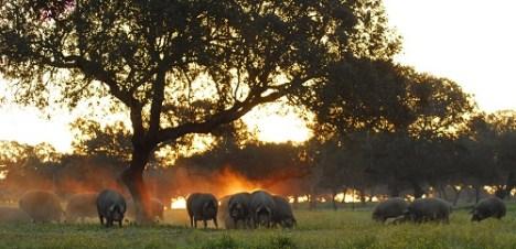 Paysage & Cochons noirs Ibérique TerroirEvasion.com
