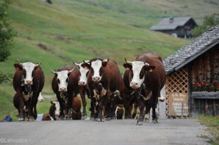 Vaches d'Abondance reblochon@Lafoudre TerroirEvasion.com