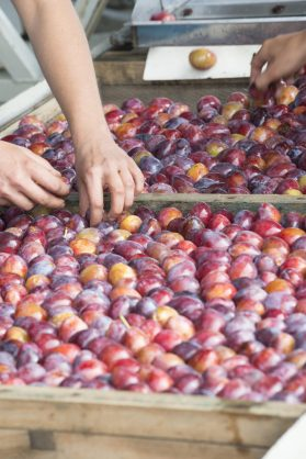 prunes-caissettes-terroirevasion-com