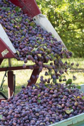 prunes-vibreurs-terroirevasion-com