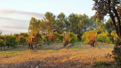 vignes-en-automne-chateau-rasque-terroir-evasion