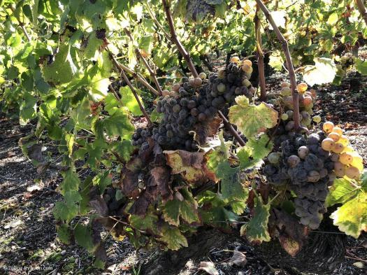 Vinsliquoreux de Bordeaux - Vigne botrytisée