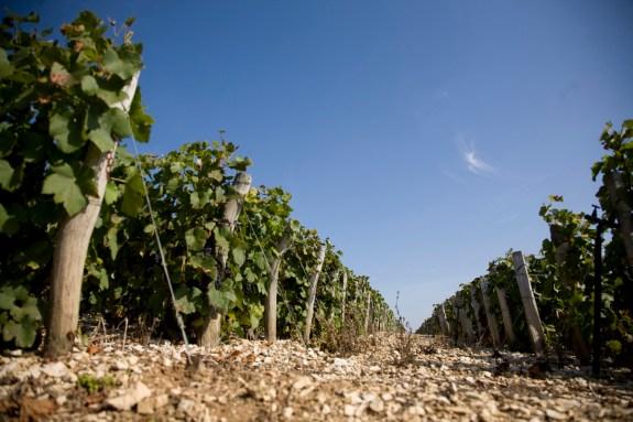 Chassenay d'Arce Champagne vigne raisins noirs