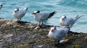 BVI terns