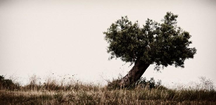 Greece - Olive Tree