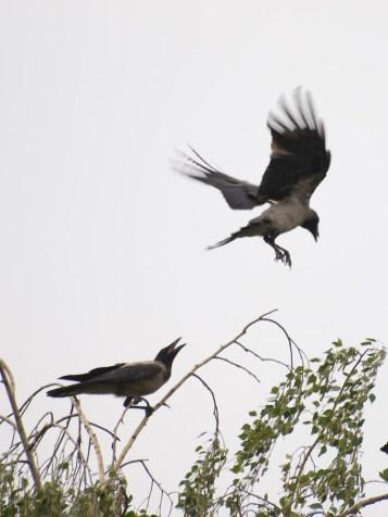 Carrion crow, Corbu, Romania