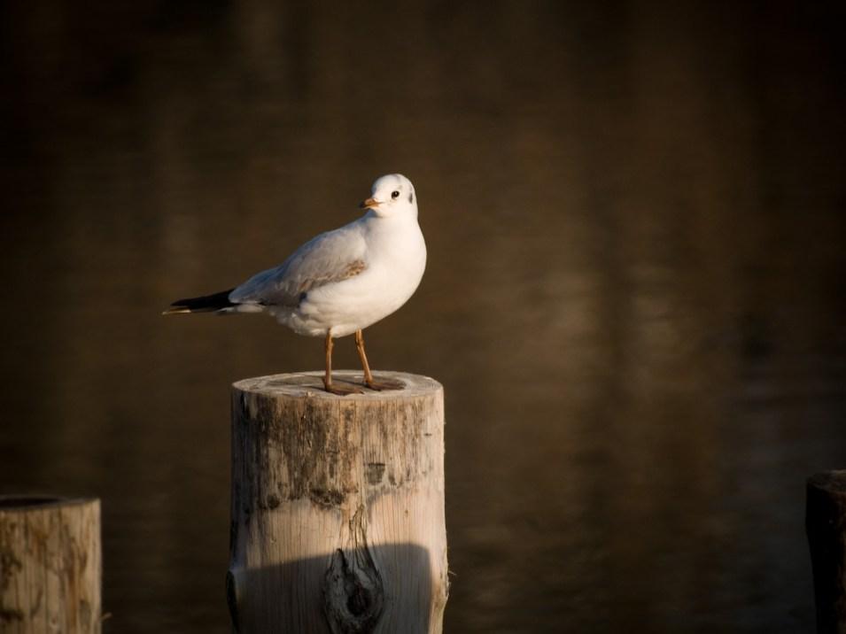 Gull, Bucharest, Romania