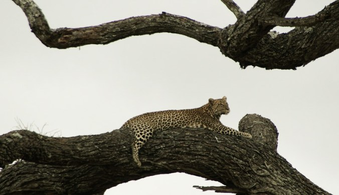 Luipaard in de boom in Tarangire National Park
