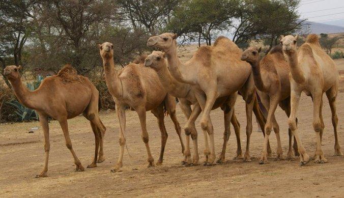 Kamelen van Meserani Snake Park