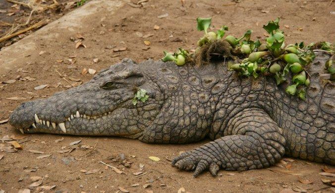 Krokodil bij Meserani Snake Park