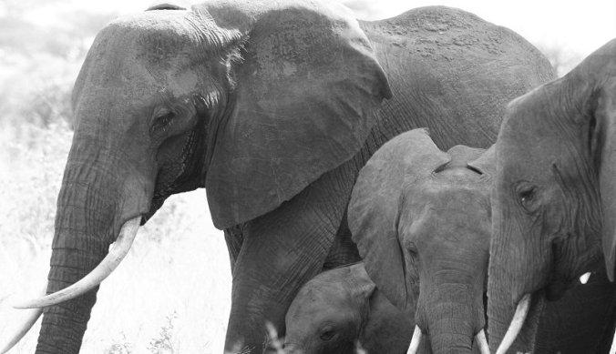 Olifanten in Tarangire National Park