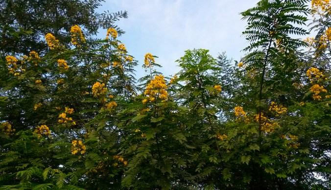 Goudgele bloemen van de Senna Corymbosa