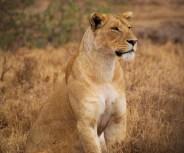 Trotse leeuwin in Ngorongoro Crater