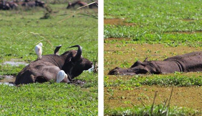 Buffels en nijlpaarden zoeken verkoeling in het moeras