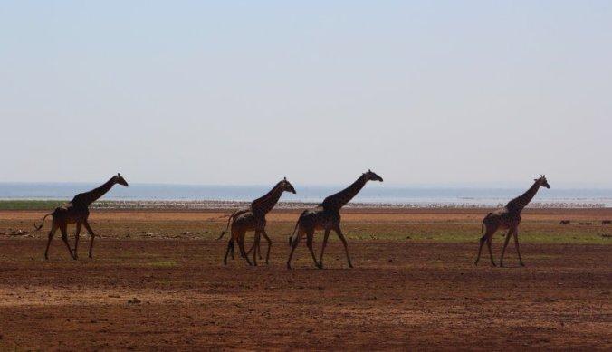 Giraffen wandelend langs de rand van het meer