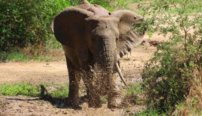 Olifant neemt een modderbad in een van de schaarse poelen