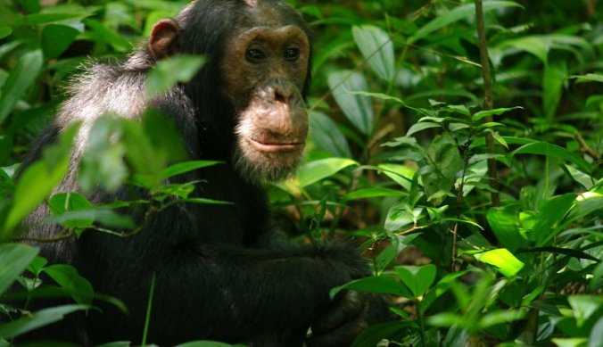 Chimp tracking in Kibale Forest in Uganda