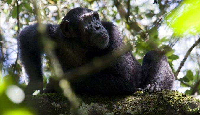 Chimpansee in Kibale Forest in Oeganda