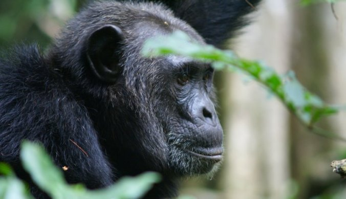 Chimpansee in Kibale Forest Oeganda