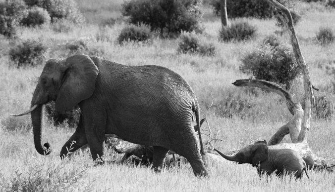 Baby olifant volgt zijn moeder