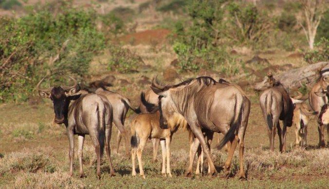 Familie gnoes met hun baby's in Ndarakwai Ranch