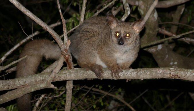 Bushbaby in de nacht