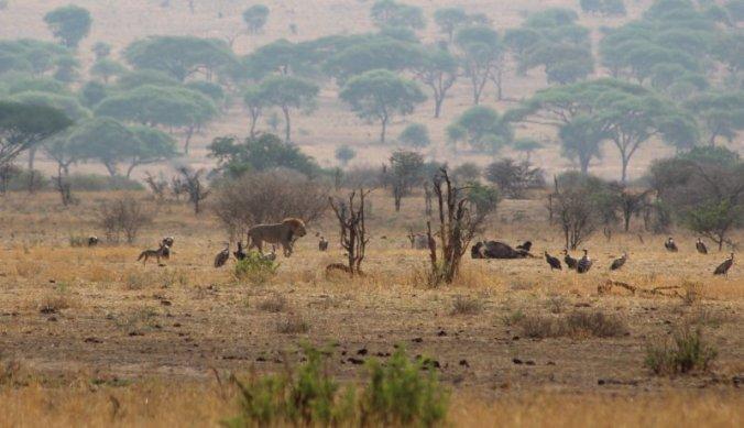 Leeuw tussen twee kills met gieren