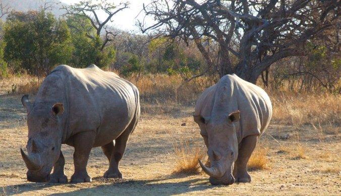 Witte neushoorns in Waterberg Rhino Conservation Zuid-Afrika