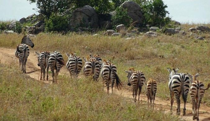 Zebra's steken pad over in Serengeti National Park