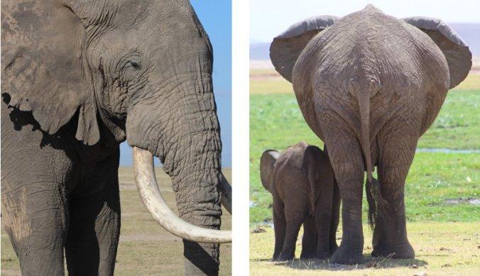 Jonge en oude olifanten in Amboseli National Park