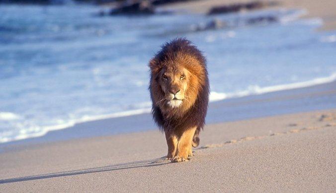 Leeuw op het strand in Saadani National Park