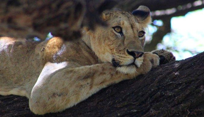 Boomklimmende leeuw in Lake Manyara National Park Tanzania