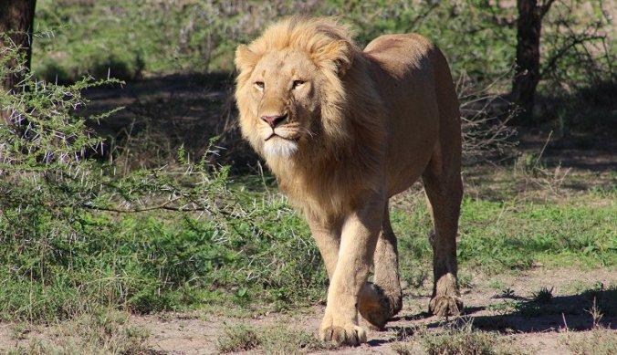 Leeuw op pad met een missie in Ndutu