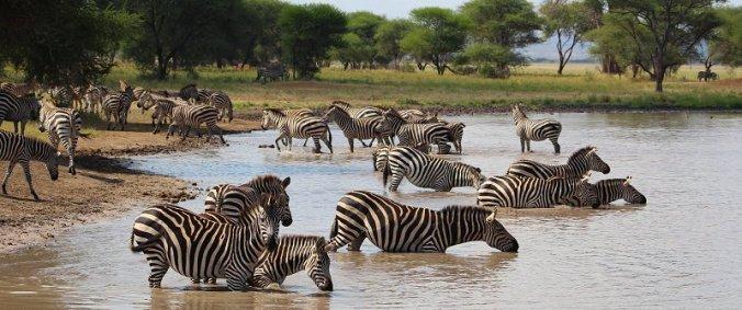 Zebra's in het water in Tarangire National Park