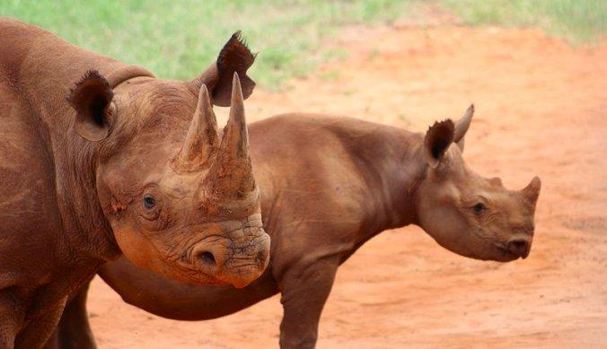 Bescherming van zwarte neushoorns in Mkomazi National Park