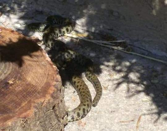 "Santa Severa, uccisa una vipera in un giardino. Sos Serpente: ""Li salviamo noi"""