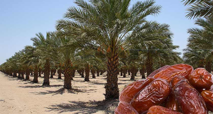 Introducing Modern Date Palm Cultivation to Eritrea