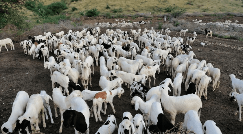 Livestock rearing at the Gerset farm