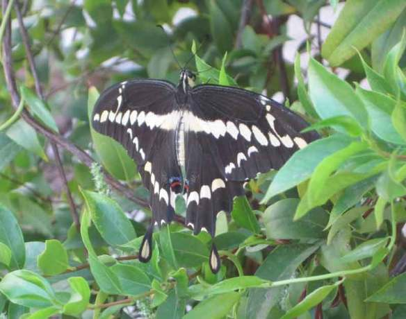 Swalowtail on Gelsemium in phoenix arizona