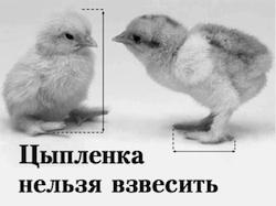 Цыпленка нельзя взвесить