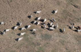 ...a herd of cows...