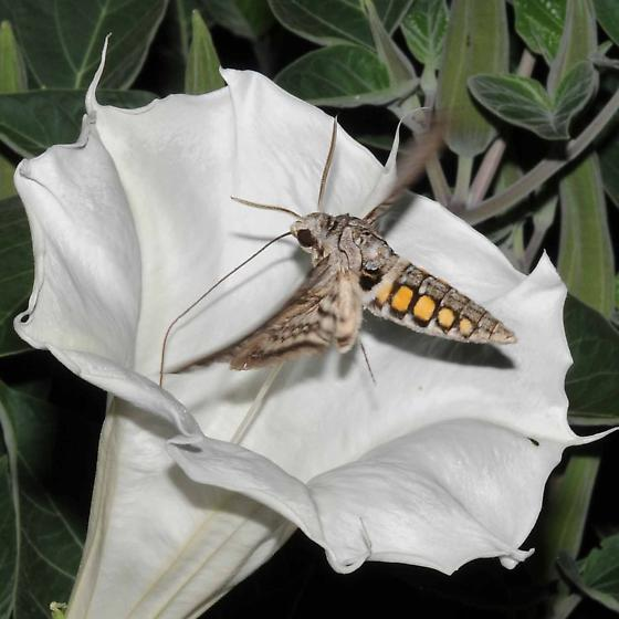 Sphinx Moth on Datura, photo by Betsy Betros, via BugGuide.net