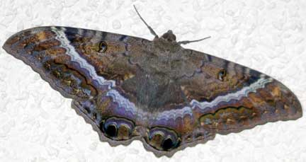 Black Witch Moth Female