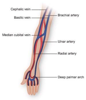 Vasculature of the Arm   Texas Heart Institute