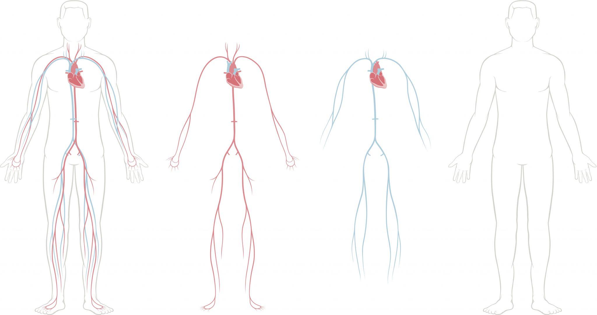 Anatomia Del Corazon Y Del Aparato Cardiovascular