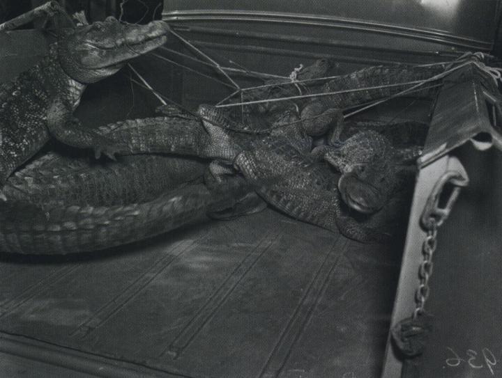 Image result for joe ball the alligator man