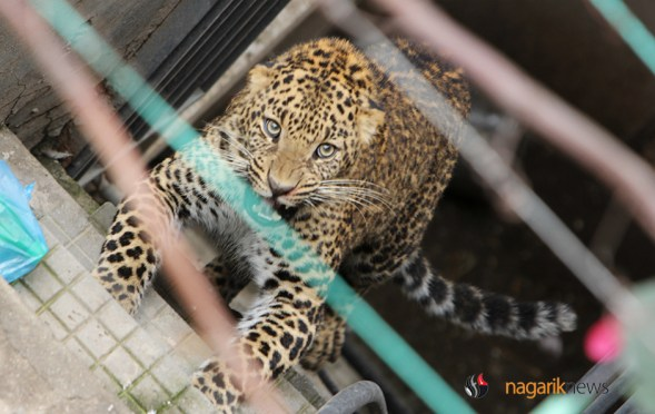 PHOTO/VIDEO: Leopard Strayed In Kuleshwore, Now Under Control