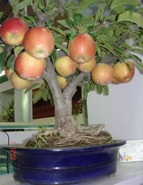 Μεγαλώνοντας δέντρα σε γλάστρες7