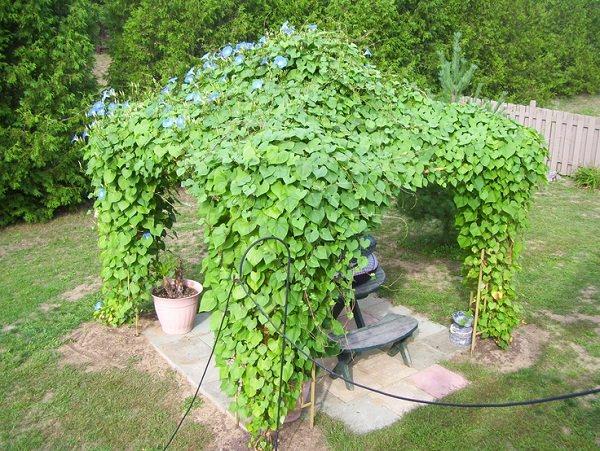 φυτά για πέργκολες13