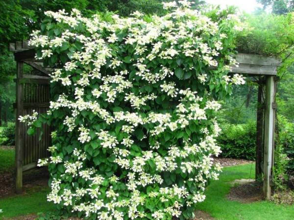 φυτά για πέργκολες20